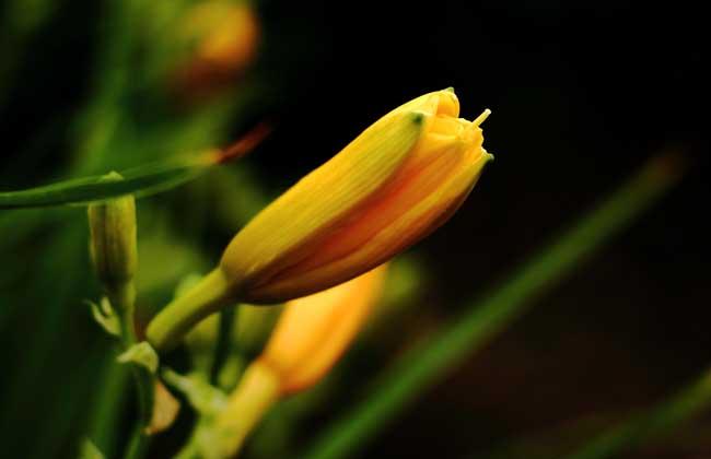 【图】忘忧草的花语和传说 忘忧草图片