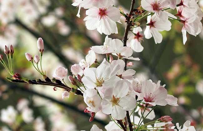 樱花树长什么样子?