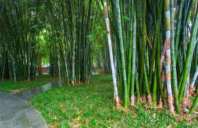 【图】关于竹子的诗句有哪些 竹子图片欣赏