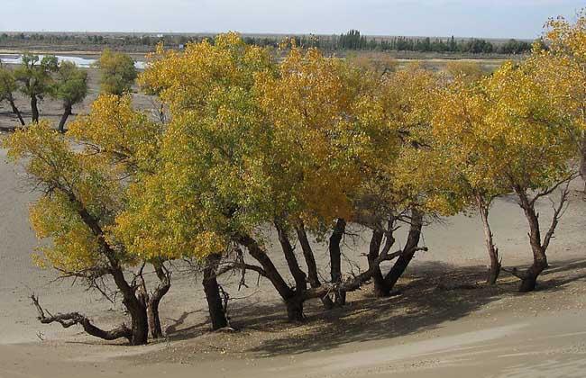 胡杨树的生长习性   胡杨树栽培技术是干旱大陆性气侯条件下的树种,喜光、抗热、抗大气干旱、抗盐碱、抗风沙,在湿热的气侯条件和粘重土壤上生长不良。胡杨要求沙质土壤,沙漠河流流向哪里,胡杨就跟随到哪里,而沙漠河流的变迁又相当频繁,于是胡杨在沙漠中处处留下了曾驻足的痕迹。胡杨靠着根系的保障,地下水位不低于4米能生活得很自在,在地下水位跌到6~9米后就显得萎靡不振了,地下水位再低下去就会死亡。   胡杨树的繁殖方法   胡杨主要用种子繁殖,插条难于成活。胡杨种子极易失水而丧失发芽能力,应在7~8月份待果穗由绿