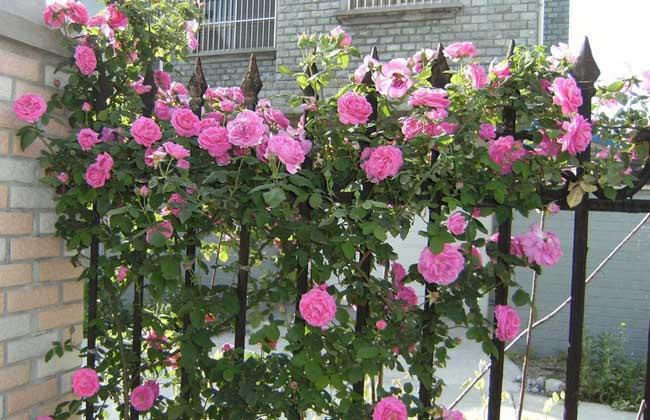 藤本月月季别称藤蔓月季,爬藤月季,爬蔓月季,藤和平等,为蔷薇科蔷薇