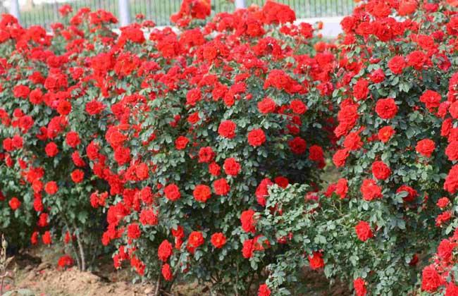 藤本月季种植方法 藤本月季怎么种植