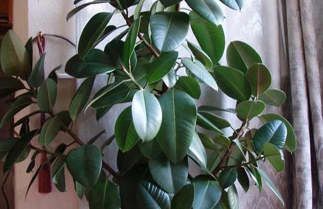 橡皮树的养殖方法   1、温度:橡皮树的温度在20~25度最好,就算是30度以上也能生长良好,但是在冬季如果温度太低橡皮树会产生大量的落叶,耐寒力非常差,我国北方地区需要在温室越冬。   2、光照:说阳光是植物的粮食确实不错,在橡皮树的养殖方法中阳光也是一宝物,给予它充足的阳光就能让它茁壮成长,在5~9月的时候适当的遮阴。   3、施肥:肥料的存在就如补钙一般,能增强它的身体健康,橡皮树的养殖方法中施肥也是重点之一,可以减少斑纹的发生,让叶子变得亮丽,单纯使用氮肥就行,冬天记得停止施肥。   4、修