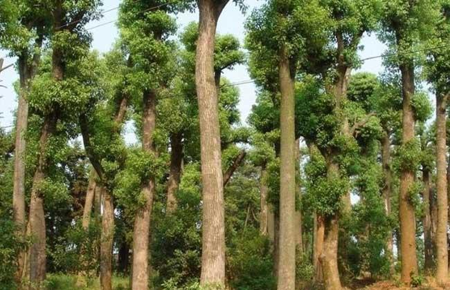 【图】香樟树的资料有哪些?