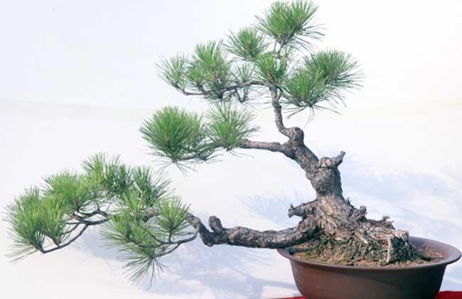 松树盆景的制作方法 松树盆景常见类型
