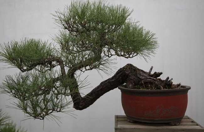 1,长寿:松树的生长寿命较长,因而在生活中赠予松树往往