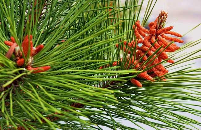 松树花有什么用?   1、抗疲劳:松花粉对易于疲劳的中老年人或从事超强体力工作者应该是十分有益的。   2、延缓衰老:松花粉中含有大量抗氧化成份,如维生素E、胡萝卜素及微量元素硒等,它们均可抑制体内脂质和蛋白质过氧化反应速度,从而具有延缓衰老的作用。   3、美容:松花粉不但具有独特的调节生理功能,而且还有促进皮肤细胞新陈代谢,延缓皮肤细胞衰老,增加皮肤弹性,使皮肤洁白红润健美的特殊效果,被誉为吃的化妆品。   4、健胃:松花粉含有近百种酶类,可以促进胃肠蠕动,增进食欲,帮助消化,对胃肠功能紊乱症有