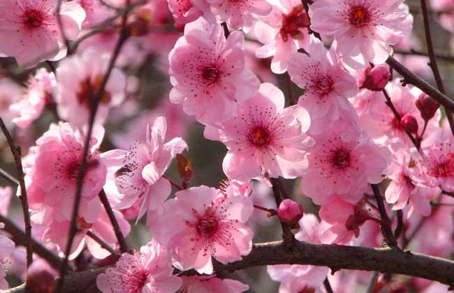 【图】梅花的品质有哪些 描写梅花的优美句子