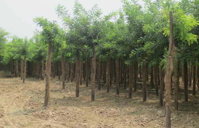 国槐的种植技术介绍