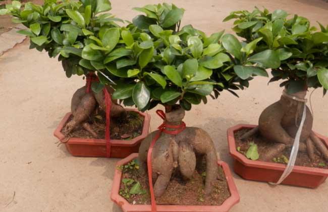 榕树盆景养殖方法   1、光照:榕树属于亚热带植物,喜欢阳光充足,通风良好,温暖湿润的环境。性耐旱,耐半阴。一般应放置在通风透光处,要有一定的空间湿度,阳光不充足,通风不畅,无一定空间湿度,可使植株发黄、发干,导致病虫害发生,直至死亡。   2、浇水:榕树栽植于盆中,长期不浇水进行水分补充的话,植株就会因缺水而枯萎,因此要及时观察,根据其土壤干湿情况浇水,保持土壤湿度。浇到盆底排水孔有水渗出为止,但不能浇半截水(即上湿下干),浇过一次水之后,等到土面发白,表层土壤干了,就要再浇第二次水,绝不能等盆土全