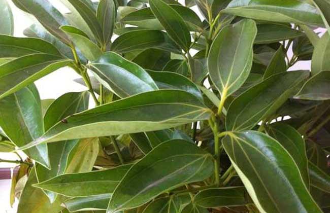 浇水:平安树喜欢湿润的泥土