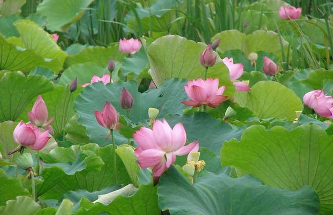 缸盆栽的荷花可于6-8月花繁叶茂新藕初步形成时,翻盆取藕鞭,新藕,并
