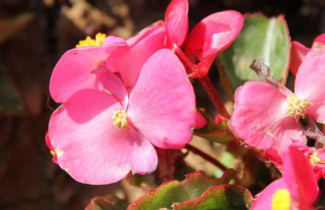 四季海棠的繁殖方法介绍