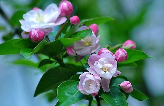 【图】描写海棠花的诗句 海棠花图片欣赏-装修