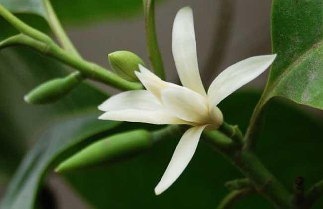 怎么养白兰花 白兰花繁殖方法介绍