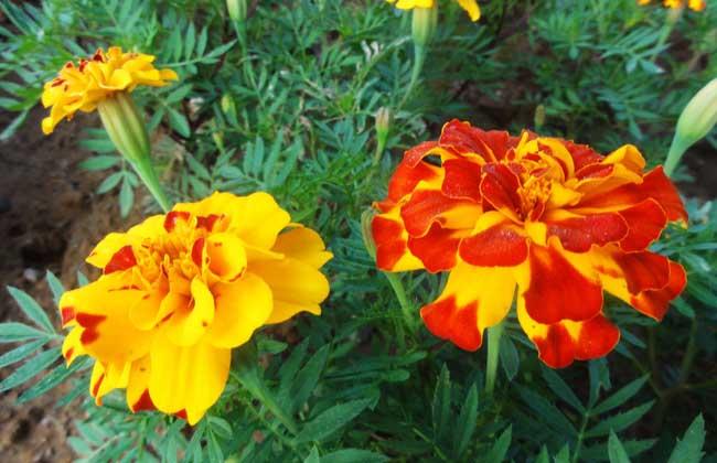 橙色的花朵 手绘图