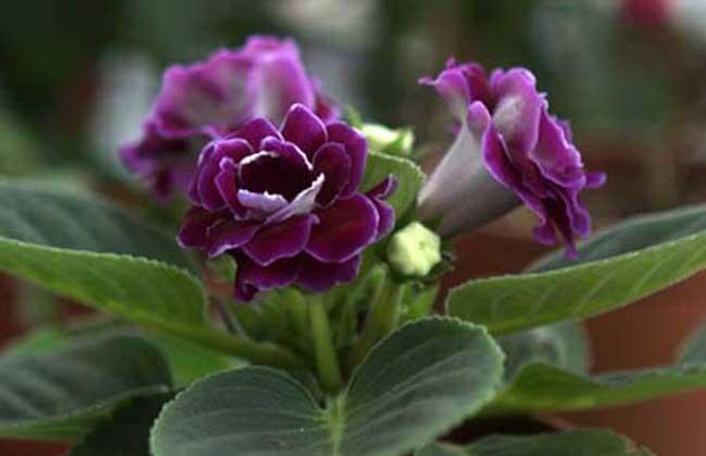 播种繁殖法   非洲紫罗兰播种繁殖可在春、秋季进行,温室栽培以9~10月秋播为好,发芽率高,幼苗生长健壮,翌年春季开花棵大花多。2月播种,8月开花,但生长势稍差,开花少。非洲紫罗兰种子细小,播种盆土应细,播后不覆土,压平即行。发芽适温18~24,播后15~20天发芽,2~3个月移苗。幼苗期注意盆土不宜过湿。一般从播种至开花需6~8个月。   关于非洲紫罗兰的繁殖方法小编就介绍到这里,希望对你有所帮助!