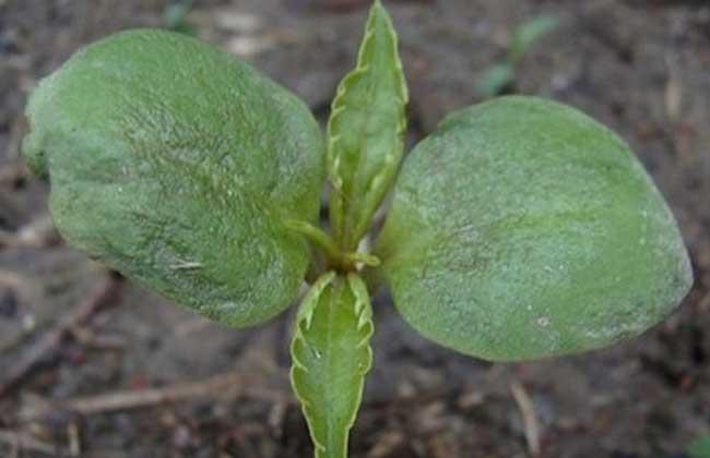 凤仙花的生长过程 凤仙花的种植方法