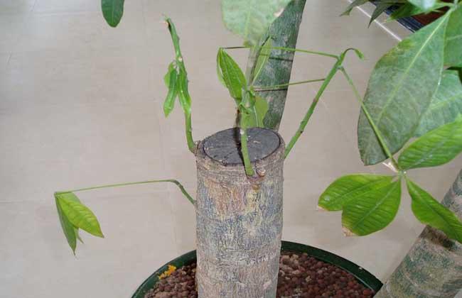 如何给发财树施肥?