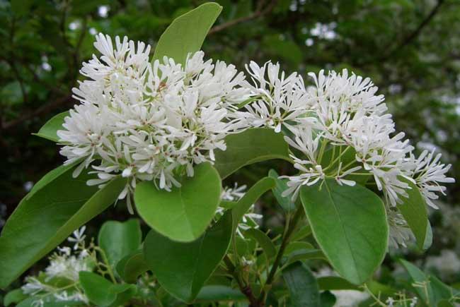 流苏树又名萝卜丝花,茶叶树,四月雪等,木犀科,流苏树属落叶乔木.