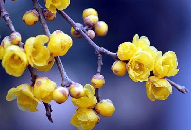 腊梅盆景制作方法 腊梅花盆景怎么养