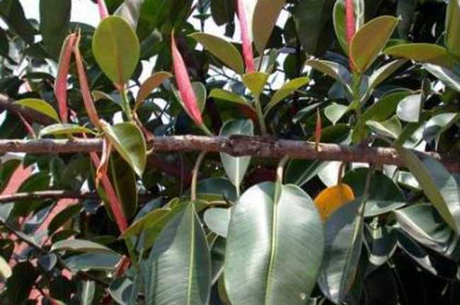 橡皮树的扦插方法