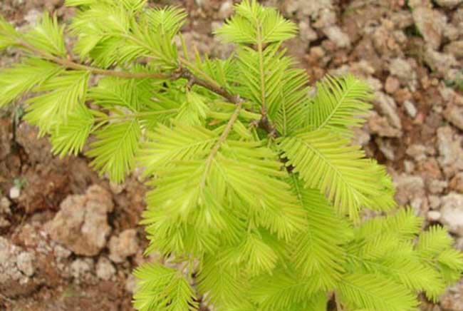 春季树种分常绿落叶
