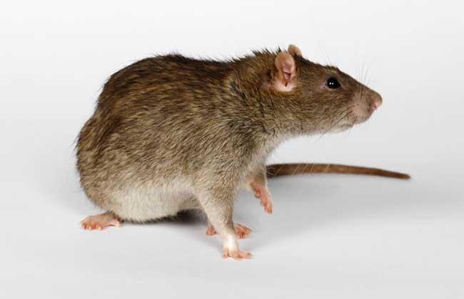 几乎什么都吃,在什么地方都能住,会打洞,上树,并能传播鼠疫,流行性