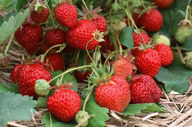 要把草莓洗干净,最好用自来水不断冲洗,流动的水可避免农药渗入果实