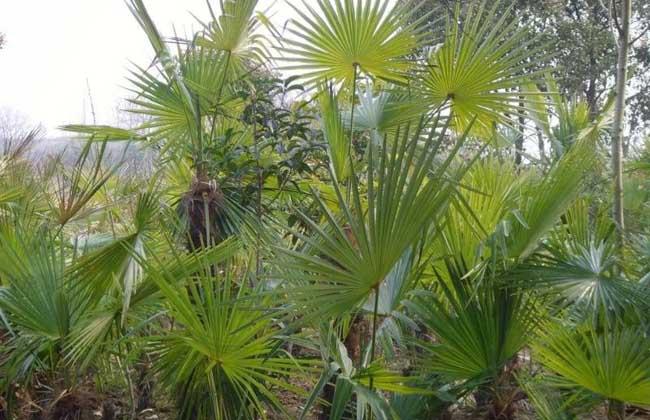 棕櫚樹和椰子樹的區別