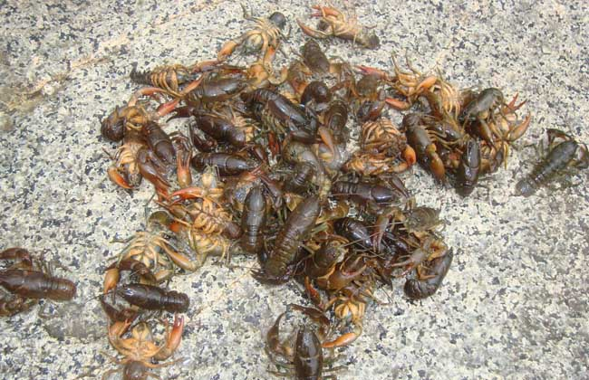 在动物分类学中属于节肢动物门软甲纲正螯虾科