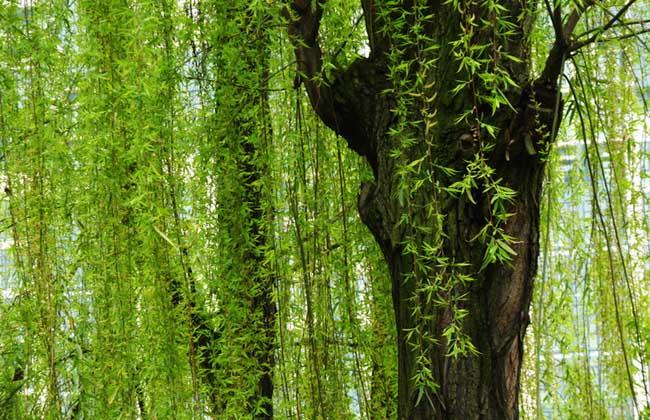 杨树和柳树的作用区别   1、杨树:大径级杨木主要用于生产胶合板、单板层积材、家具,小径级杨木用于生产纤维板、刨花板、造纸和火柴,可广泛用于生态防护林、三北防护林、农林防护林和工业用材林。做为道路绿化、园林景观用也是一个非常优秀的树种,其特点是高大雄伟、整齐标志、迅速成林、能防风沙、吸收废气。   2、柳树:柳树树形优美,放叶、开花早,早春满树嫩绿,是北温带公园中主要树种之一。树皮可作器具和造纸原料,柳絮可填塞椅垫和枕头,枝和须根能祛风除湿,柳枝皮的纤维可作纺织及绳索原料,枝条可编织提篮、抬筐、柳条箱