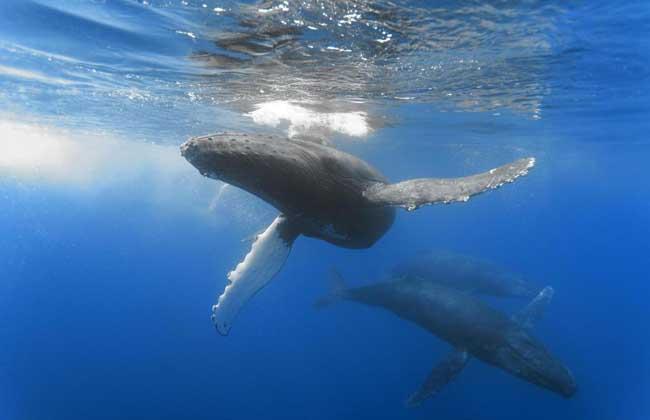 【图】鲸鱼的祖先是什么动物?