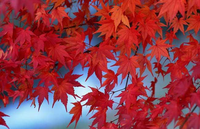 【图】枫树和梧桐的区别