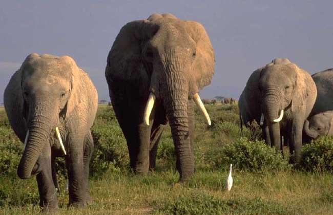 【图】大象是哺乳动物吗?