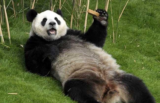 【图】大熊猫和小熊猫的区别有哪些?-装修保障