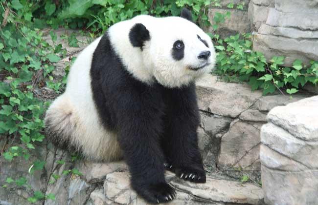 古老动物   大熊猫祖先出现在2~3百万年前的洪积纪早期,距今几十万年前是大熊猫的极盛时期,属于剑齿象古生物群,栖息地曾覆盖了中国东部和南部的大部分地区,北达北京,南至缅甸南部和越南北部,化石通常在海拔500~700米的温带或亚热带森林发现,后来同期的动物相继灭绝大熊猫却孑遗至今,并保持原有的古老特征。数百万年来几乎没有任何进化,甚至退化了,研究它可以获得一些古生物的资料,还能通过研究得到一些近几百万年来的气候地质变化情况。
