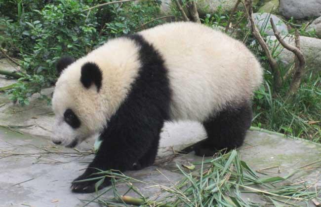 大熊猫为什么是国宝      大熊猫属于食肉目大熊猫科的一种哺乳动物