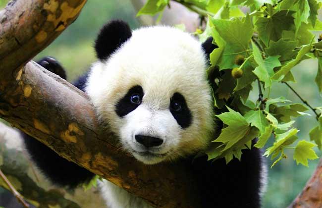 【图】大熊猫为什么是国宝