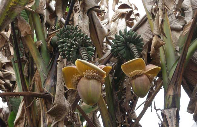 生活小常识:芭蕉根的功效与作用介绍图片