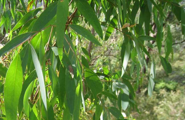 生活小常识:桉树叶的功效与作用 桉树叶的选方