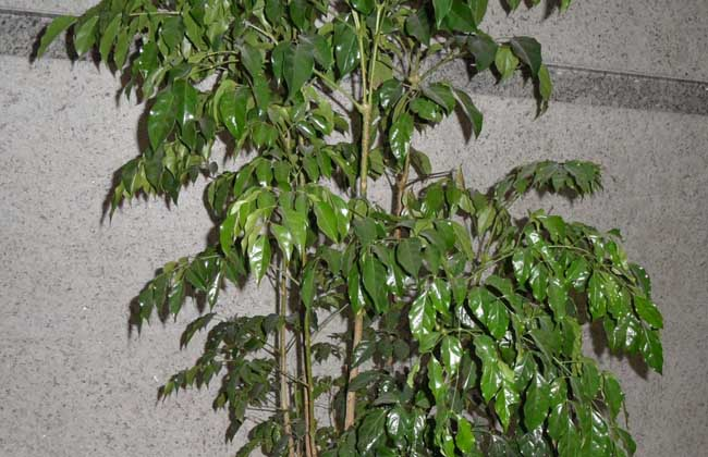 幸福树和富贵树的形态区别   1、幸福树:幸福树高达10米,叶柄、叶轴、花序均无毛。2回羽状复叶,稀为3回羽状复叶,顶生圆锥花序,花萼蕾时封闭,花冠钟状漏斗形,子房光滑,果皮薄革质,种子椭圆形,花期5-9月,果期10-12月。   2、富贵树:富贵树高达15米,树皮浅灰色,2回至3回羽状复叶,中叶对生呈卵形或卵状披针形,花夜开性,花序直立,圆锥花序顶生,花冠钟状漏斗形,蒴果革质呈圆柱状长条形似菜豆,花期7-8月,果期8-10月。