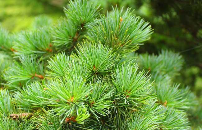 生活小常识 生活小常识:松针的功效与作用     松针即松树的叶子,为松