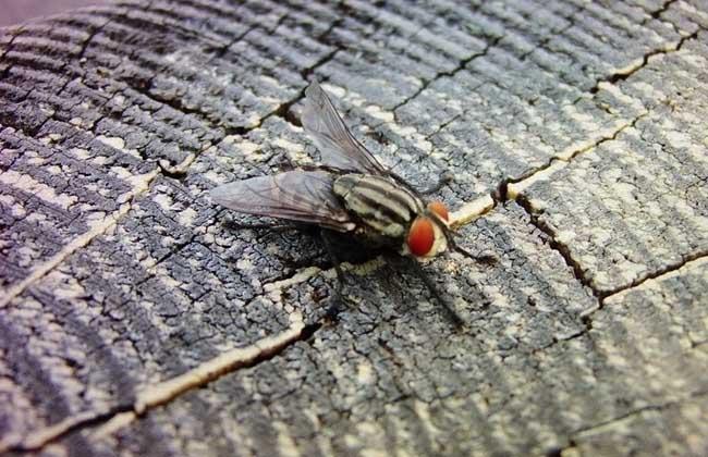 幼虫   苍蝇的幼虫俗称蝇蛆,有三个龄期,1龄幼虫体长1-3毫米,仅有后气门。蜕皮后变为2龄,长3-5毫米,有前气门,后气门有2裂。再次蜕皮即为3龄,长5-13毫米,后气门3裂。体色由透明、乳白色变为乳黄色,直至成熟、化蛹。3龄幼虫呈长圆锥形,前端尖细,后端呈切截状,无眼、无足。蝇蛆的生活特性是喜欢钻孔,畏惧强光,终日隐居于孳生物的避光黑暗处,具有多食性,形形色色的腐败发酵有机物,都是它的美味佳肴。