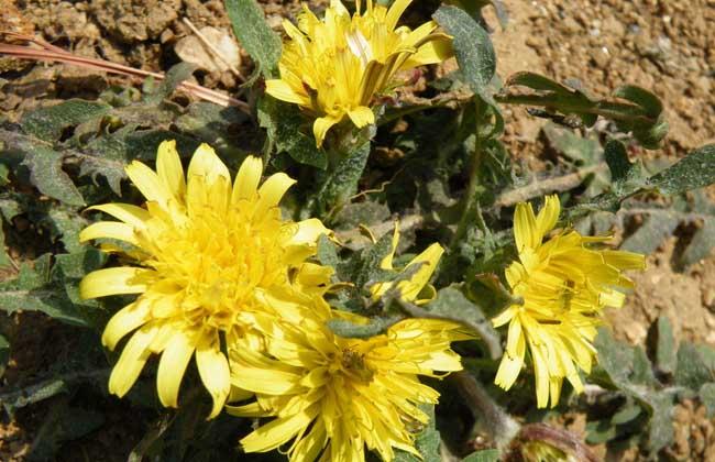 双子叶植物纲,白菜花目