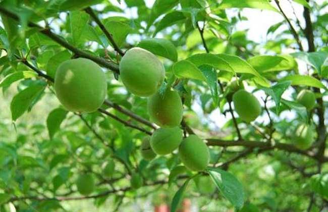 桃子   桃子为蔷薇科桃属落叶小乔木,原产中国,树高3-8米,树冠宽广而平展,树皮暗红褐色,老时粗糙呈鳞片状,叶片长圆披针形、椭圆披针形或倒卵状披针形,花单生,先于叶开放,直径2.5-3.5厘米,果实形状和大小均有变异,卵形、宽椭圆形或扁圆形,核大,离核或粘核,椭圆形或近圆形,花期3-4月,果期为8-9月。