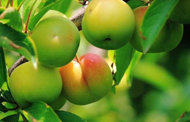 【图】梅子,樱桃,杏子,桃子,李子的区别      桃子为蔷薇科桃属落叶小图片