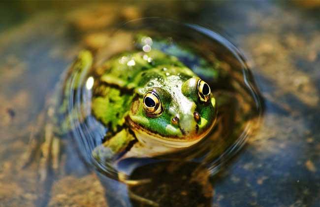 养石蛙_石蛙怎么养_石蛙与青蛙的区别
