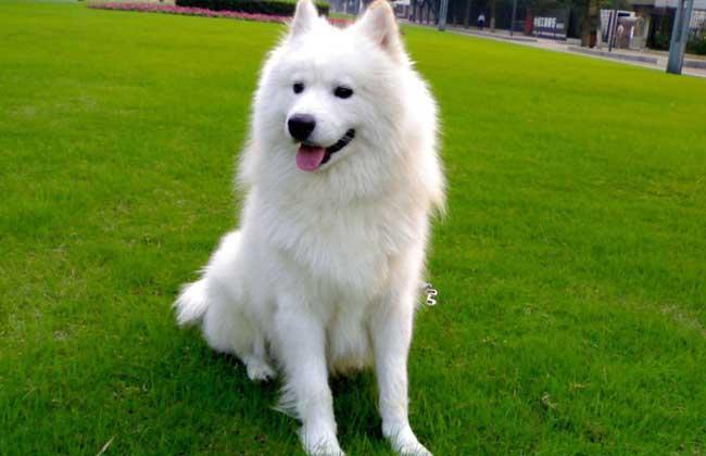 【图】萨摩耶犬多少钱一只