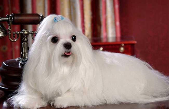 【图】马尔济斯犬价格是多少 马尔济斯犬的选购方法-装修保障网